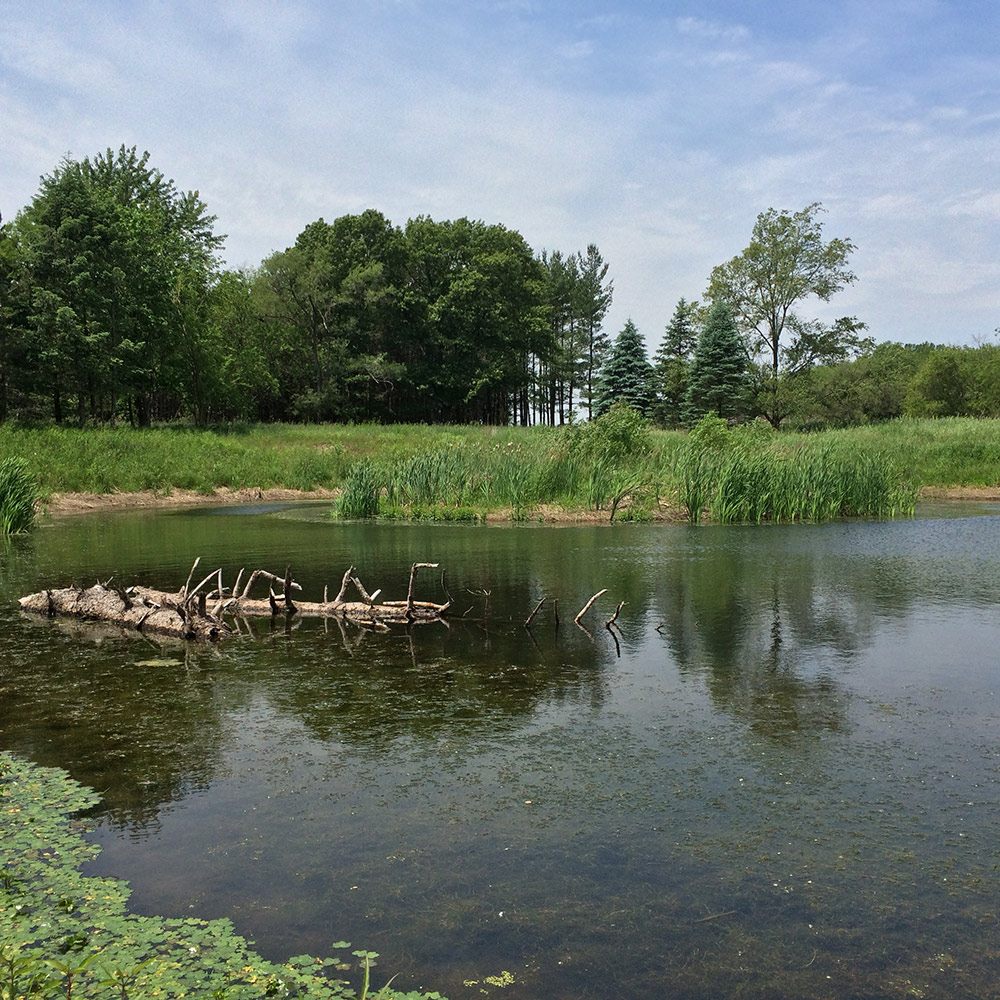 The new pond provides improved habitat for wildlife, including the turtles.  The wildlife crossing maintains connectivity to habitat north of the new highway (Post-construction).